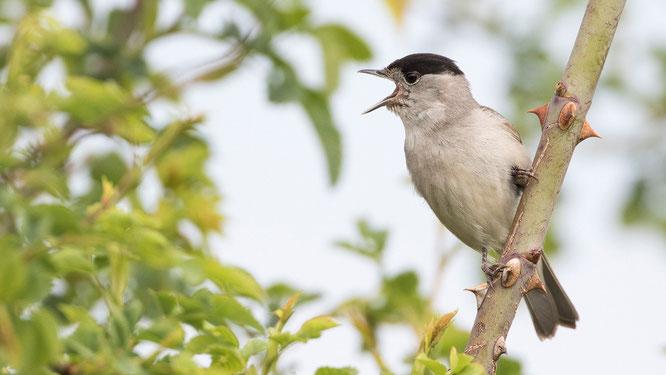 Mönchsgrasmücke, Sebastian Vogel, Singvogel, naturfotografie