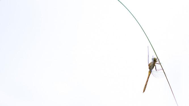 Heidelibelle, sebastian vogel, libelle, naturfoto, vogel-naturfoto, garten