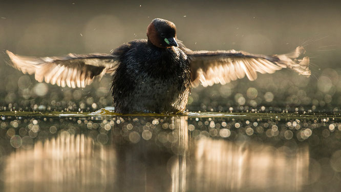 Sebastian Vogel, Zwergtaucher, vogel-naturfoto, vogel