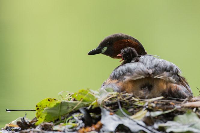 Zwergtaucher, juvenil,vogel-naturfoto,sebastian vogel