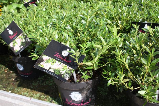 Bloombux wie er in unserer Gärtnerei zum Verkauf steht