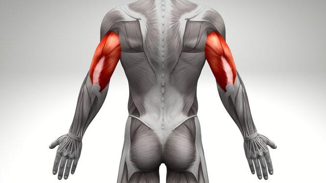 Trizeps-Anatomie