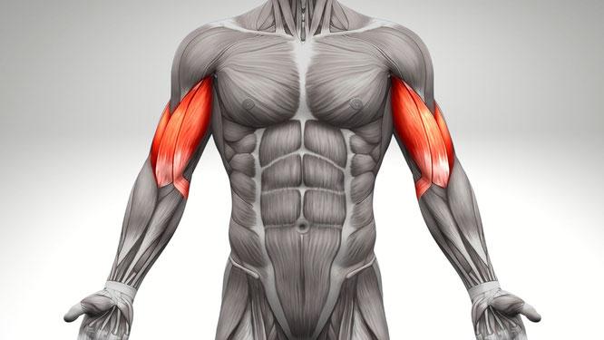 Bizeps-Anatomie