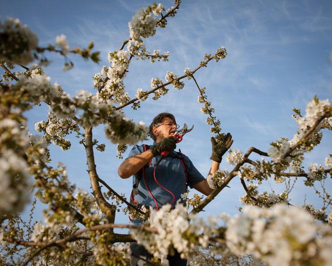 Roland Schmitt beim Obstbaumschnitt