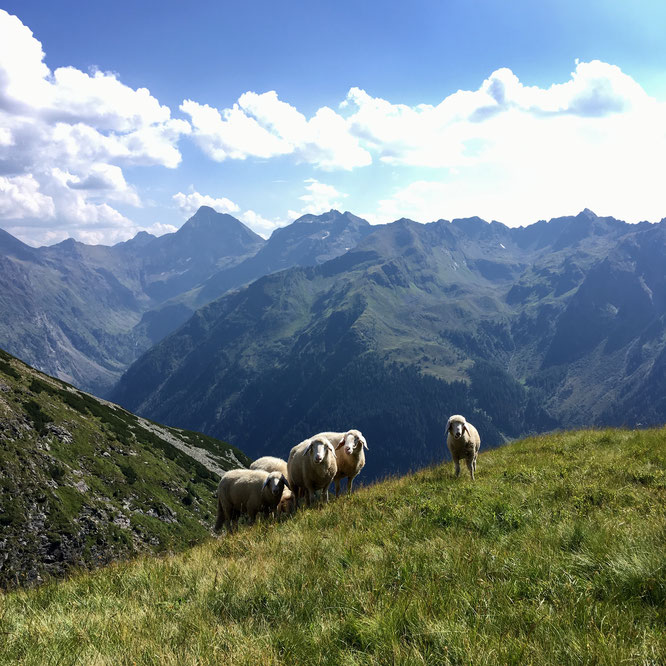 Schafe vor Bergpanorama, Schladminger Höhenweg