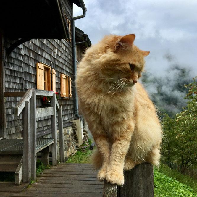 Rote Katze vor der Gollinghütte in den Schladminger Tauern, Steiermark