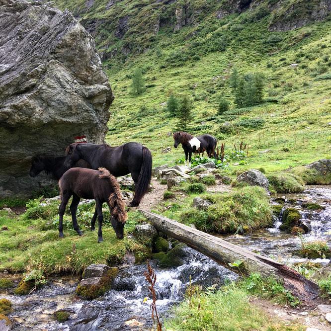 Islandpferde vor der Gollinghütte