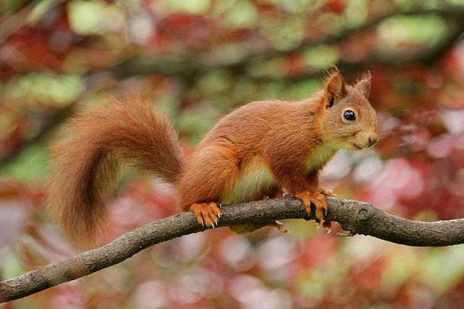 Eichhörnchen - Maskottchen Gewerbebund