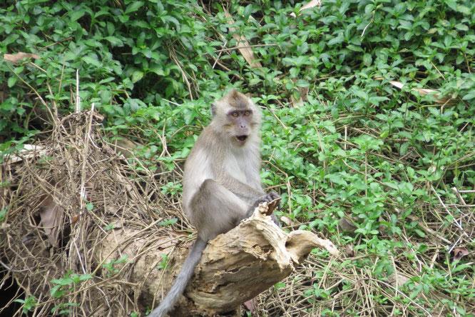 Viele Affen - keine Mücken.