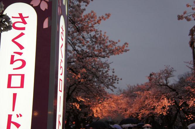 魅惑の「夜桜タイム」の始まり。感動の瞬間を是非、現地で!