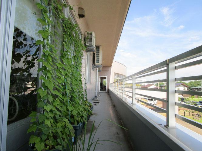 猛暑の夏。ベランダのグリーンカーテンから涼しさをおすそ分け