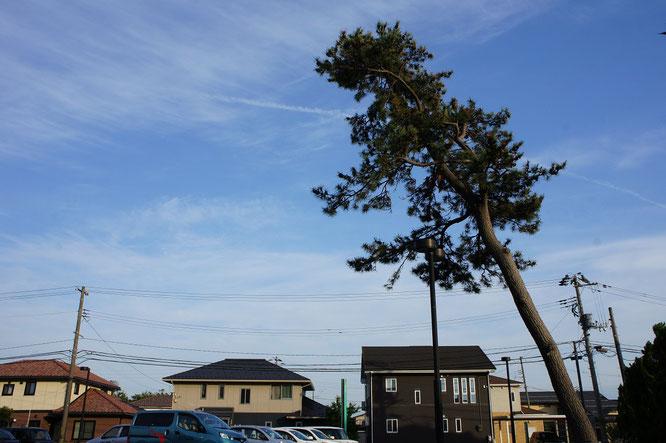 今日の施設前の松の木。60度の傾き加減にいつも勇気をもらっています。でも、茶色に変色した葉がやや、気がかりです