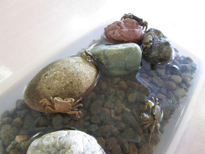 サワガニが5匹。この夏、中庭から施設内を訪れた訪問客です