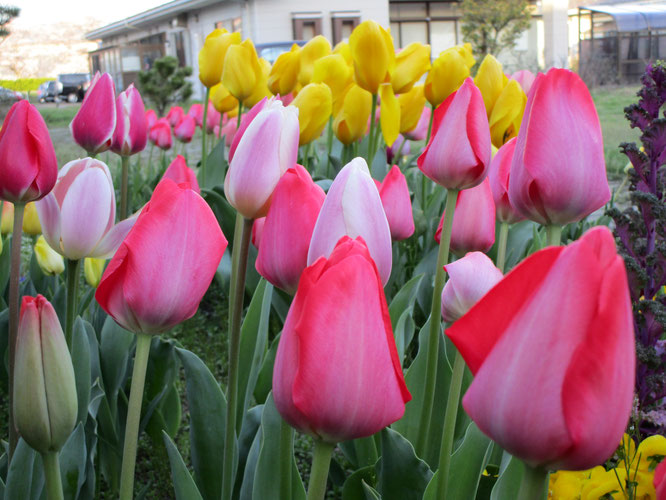 桜同様、輝きのときを迎えた中庭のチューリップ。春の二重奏