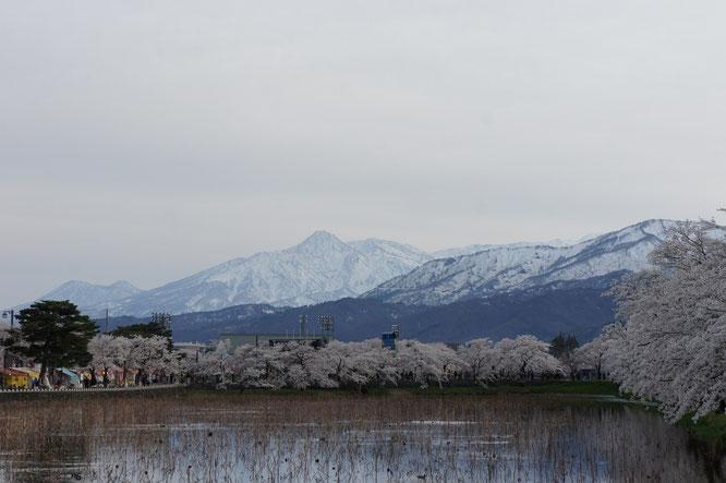 17:20 高田公園に到着。ここでも満開の桜と妙高山がお出迎え。一年ぶりの景色に気分が高まってきました