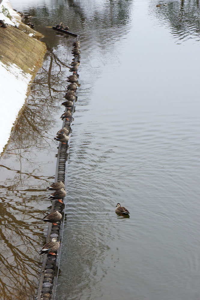 寒さの中、隊列を組む高田公園のカルガモ部隊。隊列の中に、一羽だけ我が道を行く者が・・・。