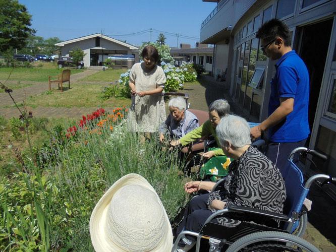 中庭に咲いたラベンダー。これから摘んでいきます