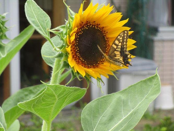 こちらはさいはま園の中庭に咲くヒマワリ。その時、アゲハ蝶が突然のご訪問