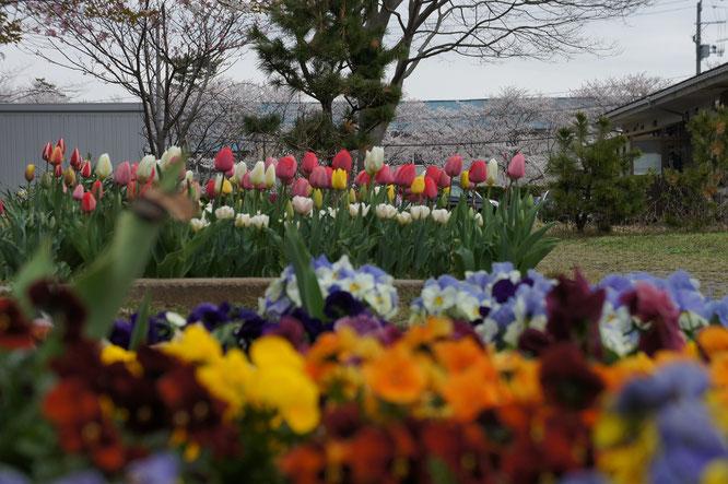パンジーとチューリップ、そして満開の桜とのコラボレーション。予想していませんでした