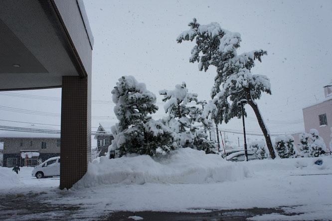 一日じゅう雪が降り積もりました。除雪業者さんのおかげで玄関もスッキリ。でも、雪の重みに耐える松の木がちょっと心配。