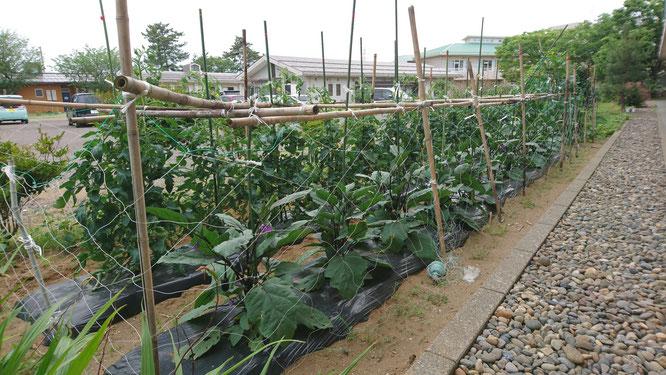畑の野菜たちも元気に育っています。初物のキュウリはご利用者の皆さんとおいしくいただきました