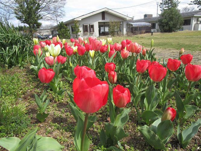 本日、満20歳を迎えた「しおさいの里等複合施設」。桜の開花はお預けとなりましたが、チューリップがお祝いしてくれました
