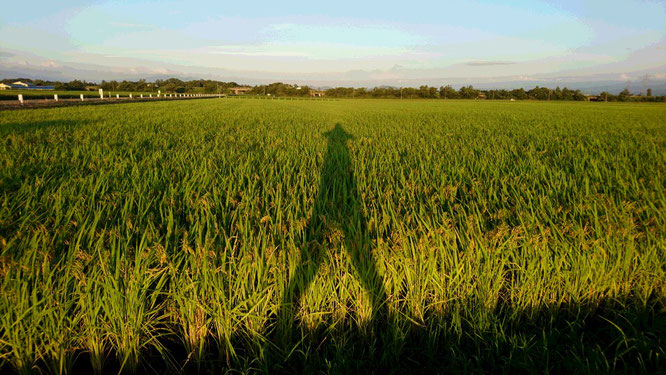 頭を垂れ始めた稲穂たち。収穫まであと少し。どうか無事に過ごしてください