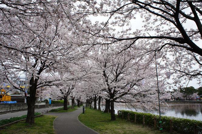 学校前の桜並木。時間が早かったので、景色を「独り占め」