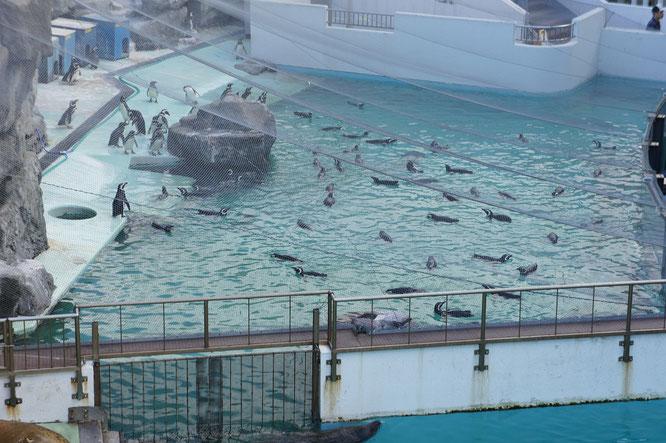 日本一の飼育数を誇るマゼランペンギン。来年まで、しばしのお別れです。
