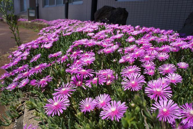 好きなものは「強い日差し。」元気に咲き誇る今日のマツバギク