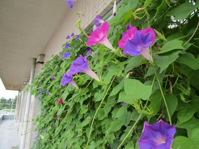 2階・しおさいの里5丁目のベランダに咲くアサガオ。ご利用者さまとの会話も弾みました