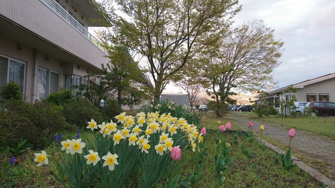 肌寒さを感じる今日の夕刻の中庭。葉桜からスイセンとチューリップへのバトンパス