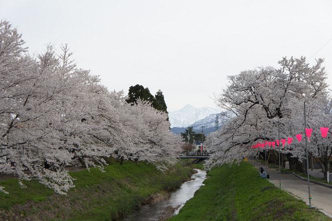 17:05 高田本町に到着。駐車場に車を停めてウォーキングのスタート。青田川沿いの桜と妙高山。高校時代から好きな景色
