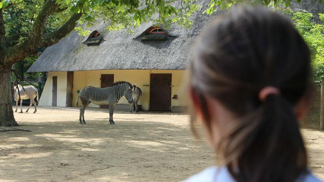 Unsere Große betrachtet die Zebras