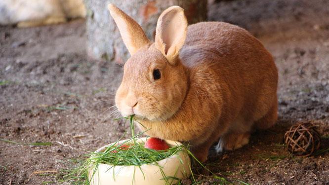 Unser Kaninchen Paula im neuen Hasenstall beim Fressen