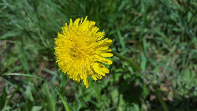 Die gelbe Blüte eines Löwenzahns