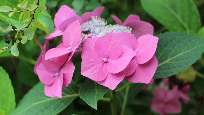 Eine Hortensien-Blüte