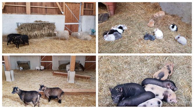 Schafe, Ziegen, Schweine und Kaninchen auf dem Ferme BelleVie im Villages Nature Paris