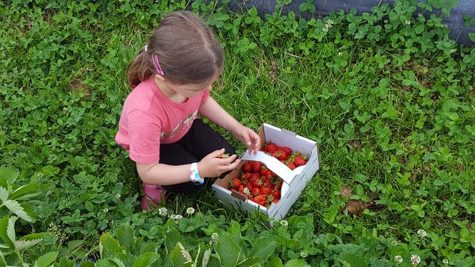 Unsere Kleine beim Erdbeersammeln auf dem Erdbeerfeld