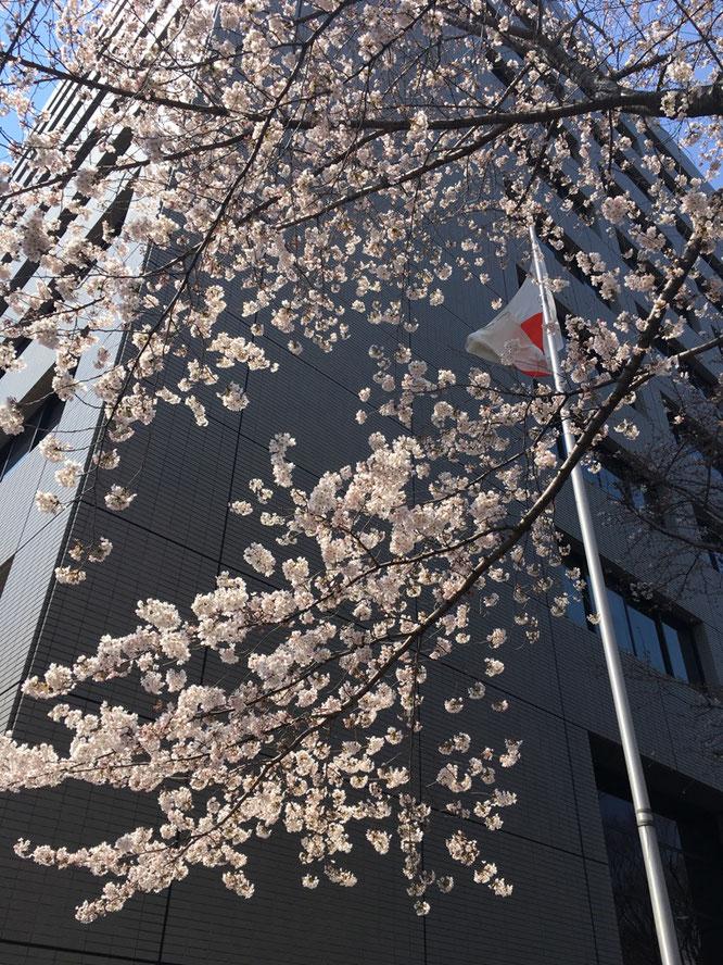 名古屋法務局の桜