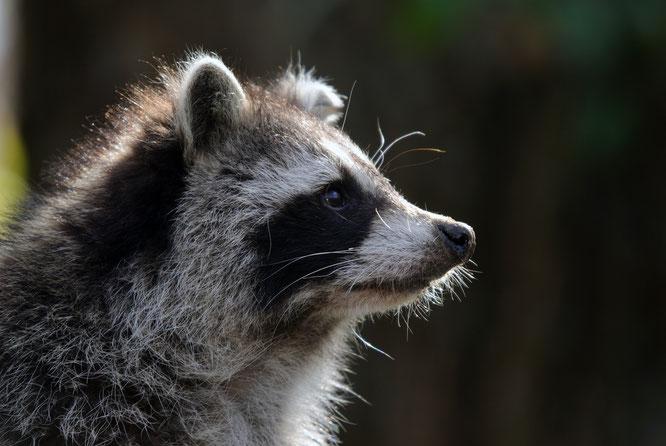 ©Foto: Jörg Krogull. Ganz putzig sieht das Kerlchen ja aus. Aber eine Plage und auch Gefahr sind die Kleinbären leider auch.