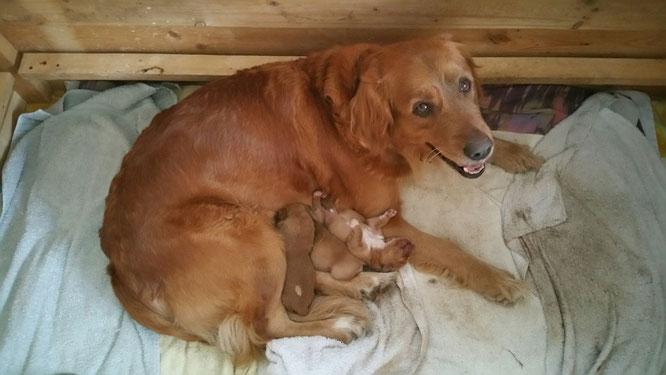 Die glückliche Mama Aggy mit ihren 3 Welpen. Dieses mal alles Mädels!