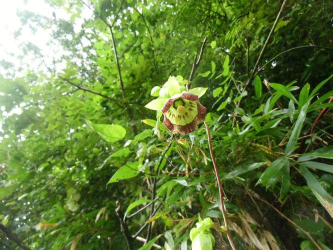 ツルニンジン(ジイソブともいう。)下からのぞいたが、とても珍しい花です。