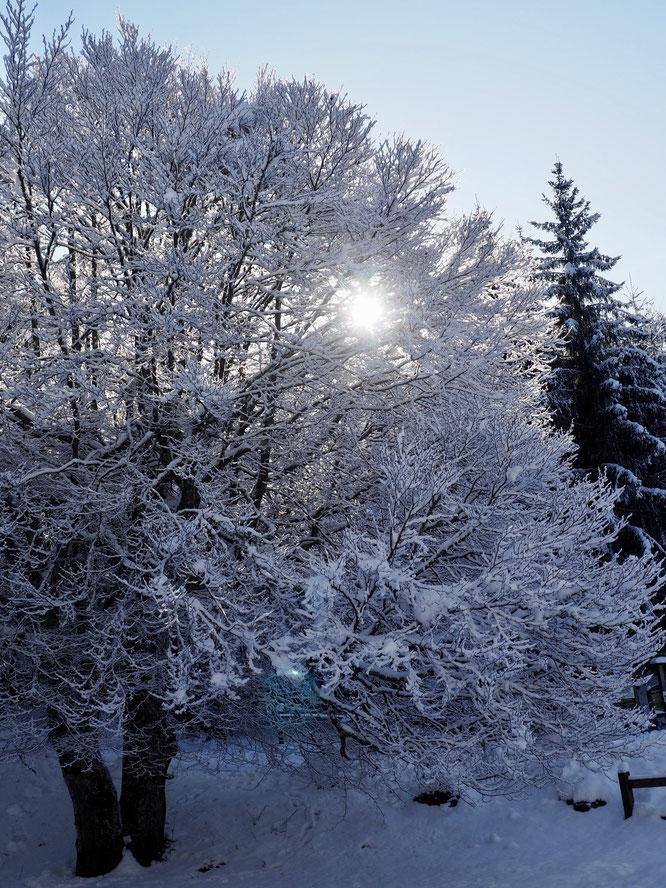 Le soleil du matin perce au travers des branches toutes blanches de notre hêtre (par ici on le nomme aussi Fayard). Et il est juste face à la Gélinotte.