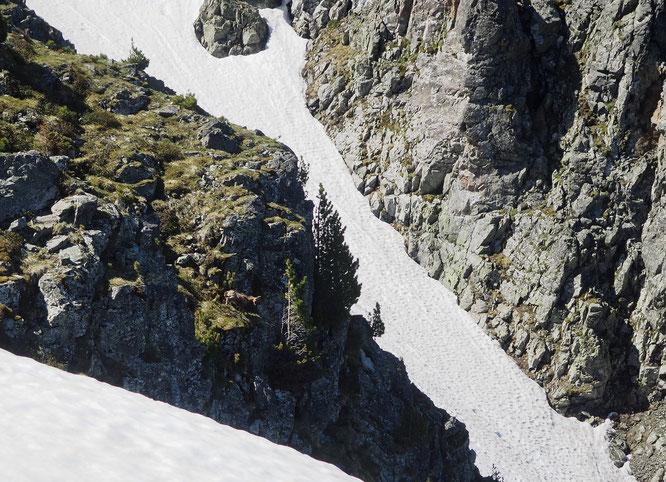 Sur la fin de la crète du Rocher Mottin, c'est un terrain à chamois et juste là il y a un qui s'appréte à sauter le petite barre rocheuse. Là haut les les névés pentus sont encore présents.