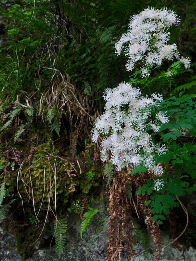 Forêt des montagnes de Belledonne, juste au dessus de  Freydières, début de l'été 2019. (Voir le billet ci-dessus)