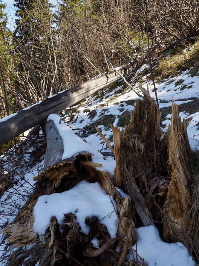 Un peu plus haut vers 1600m avant la lisière de la forêt sur le versant Ouest du Grand Colon. Sur le sentier de la cabane du berger.