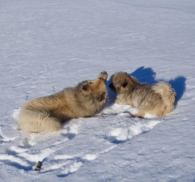 Hier du coté de la cabane du berger sur le Grand Colon (1750m) : eux aussi aime bien jouer dans la neige...