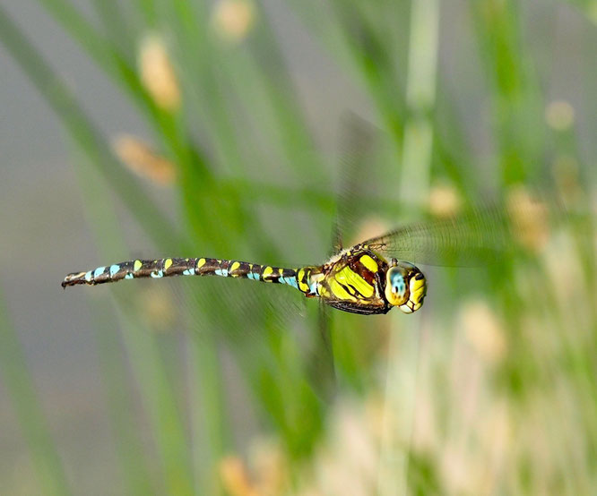 De belles rencontres sur le lac de Freydières. Elisabeth Lamour a capté l'approche de cette belle libellule sur les rives du lac. Bravo et merci. Est ce la photographe que l'on apercevrait  dans les yeux de la libellule... ?!