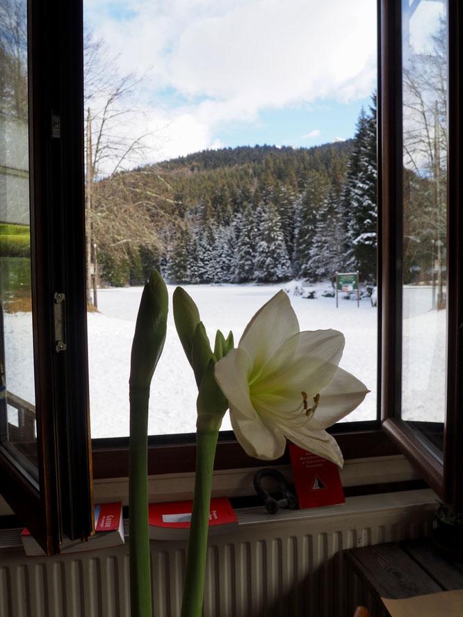 L'hiver arrive en montagne, à la Gélinotte c'est l'heure de notre Amaryllis qui grandit vite et semble bien apprécier l'ambiance....